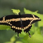 The Giant Swallowtails are Here!