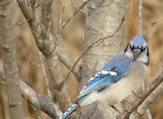 Bird Walk with Joe Neal @ Botanical Garden of the Ozarks