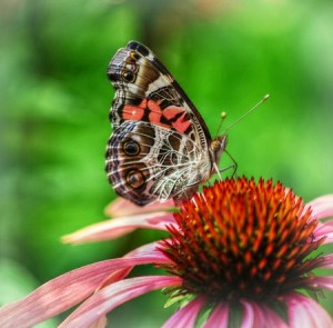 Gardening For Butterflies @ Botanical Garden of the Ozarks | Fayetteville | Arkansas | United States