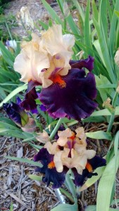 NWA Iris Society Program @ Botanical Garden of the Ozarks | Fayetteville | Arkansas | United States