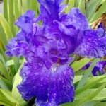 NWA Iris Society Program