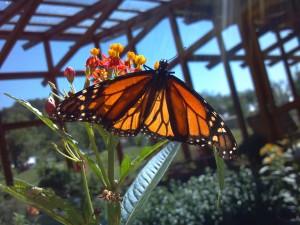 BGO Butterfly