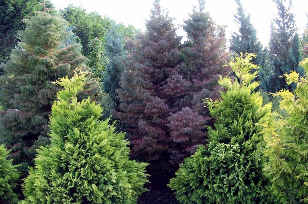 The Natural History of Conifers @ Botanical Garden of the Ozarks