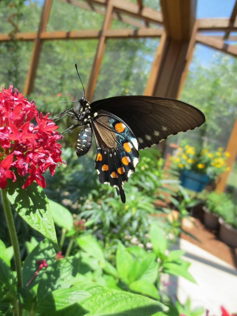Butterfly Gardening: It's More Than Just Plants @ Botanical Garden of the Ozarks
