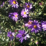 Autumn = Aster