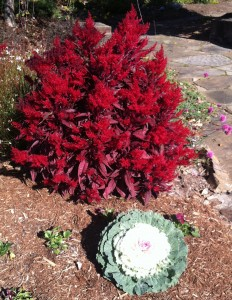 dragons breath celosia