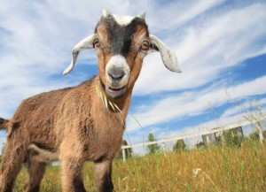 Introduction to Goats @ Botanical Garden of the Ozarks